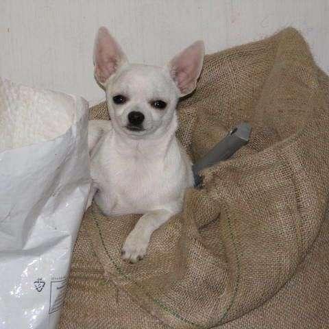 Falzerano Collies and Chihuahuas