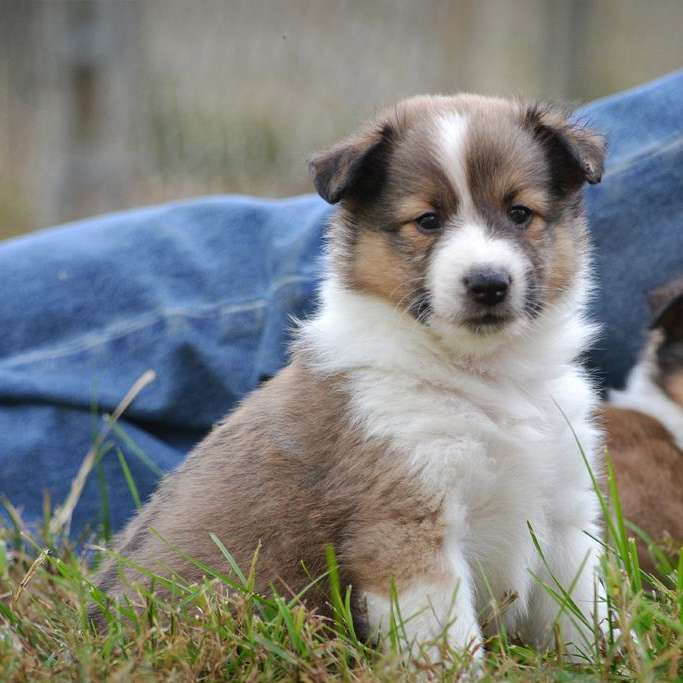 White Pine Shelties