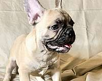 french-bulldog-for-sale