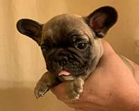 bulldog-french-bulldog