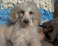 genetically-health-tested-standard-poodle