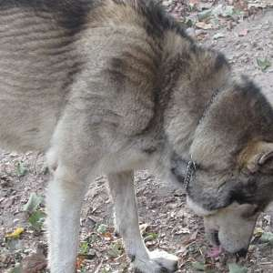WOLF CUBS FOR SALE