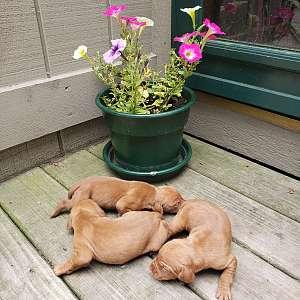 AKC Vizsla Puppies