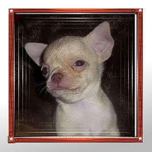 Tiny Apple Head Chihuahua Rosco