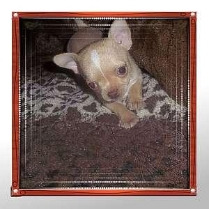 Romeo Tiny Apple Head Male Chihuahua