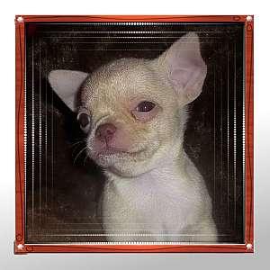 Rosco Tiny Apple Head Male Chihuahua