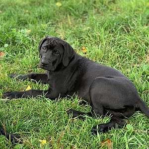 Blaine - Sweet Mellow Mastador Pup