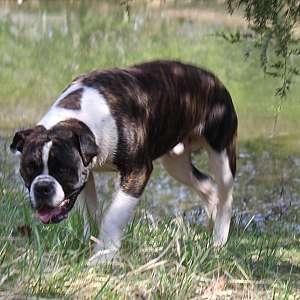 CCA Alapaha Blue Blood Bulldog Puppies