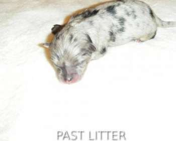 Sable Pomeranian Puppies for Sale