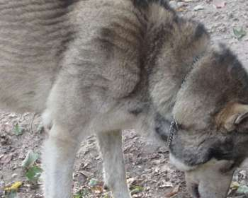 Wolf Puppies for Sale in West Virginia