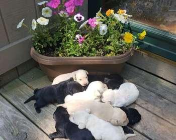 Labrador Retriever Puppies for Sale in Wisconsin