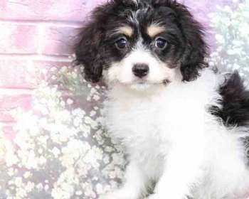 Puppies for Sale in Maryland