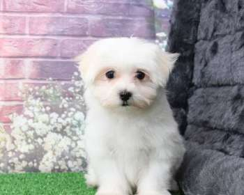 Maltese Puppies for Sale in Maryland