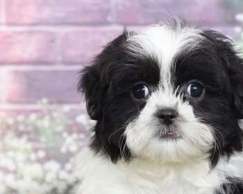 Black Maltese Puppies for Sale