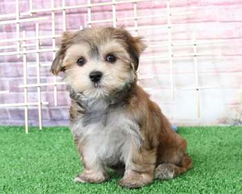 Morkie Puppies for Sale in Maryland