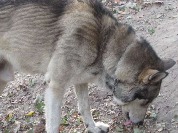 female-gray-double-coated-wolf