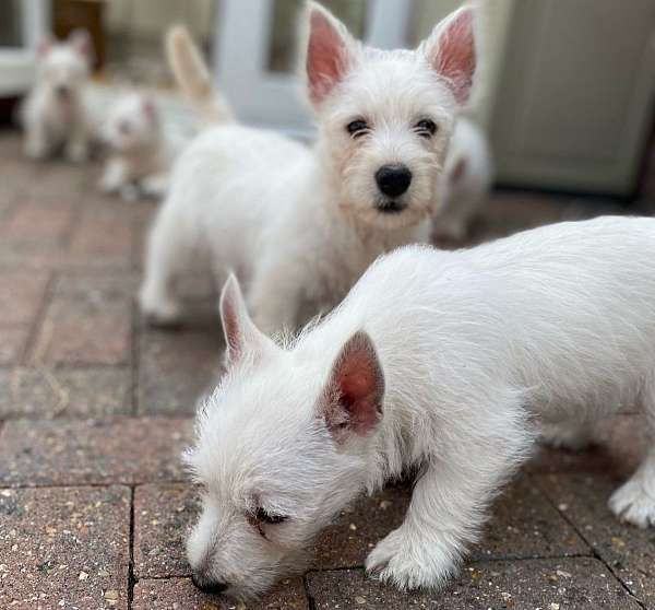 male-staffordshire-bull-terrier-dog
