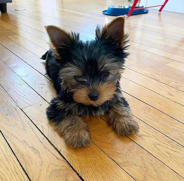 male-doxle-dog