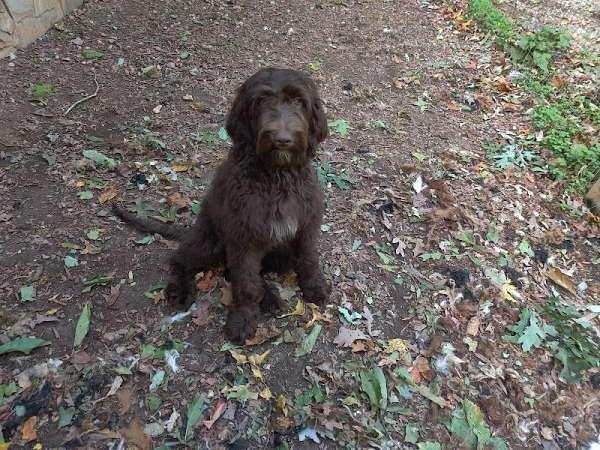 dark-brown-hypoallergenic-puppy