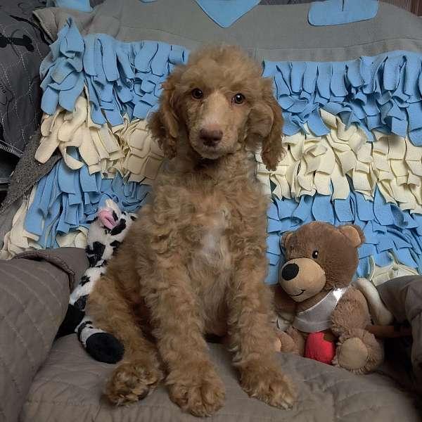 nonshedding-standard-poodle