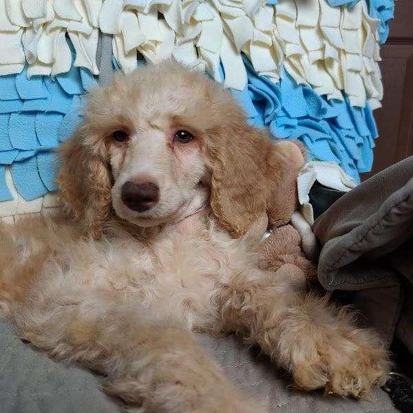 ofa-standard-poodle