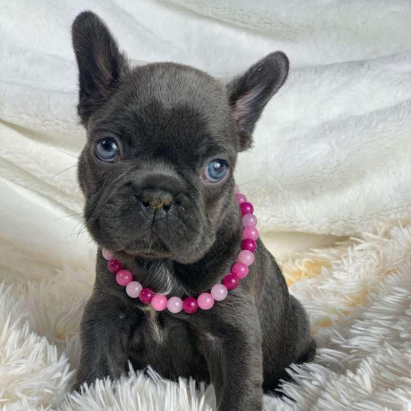 Corgi Puppies for Sale in Texas